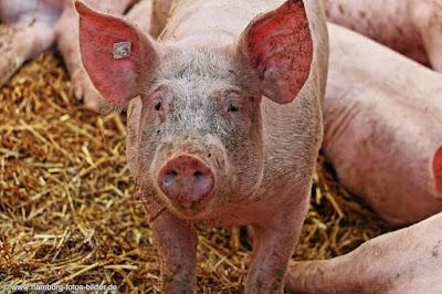 Schweine auf dem Gut Wulksfelde