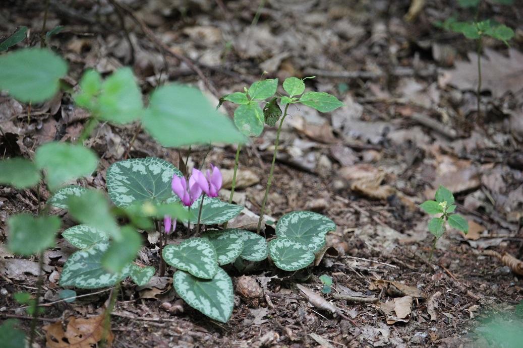 květy bramboříku v Národním parku Podyjí cestou na zříceninu Nový Hrádek u Lukova