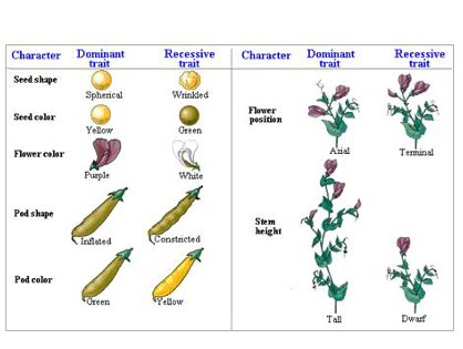 GENETIC TERMS AND MENDEL'S EXPERIMENTS