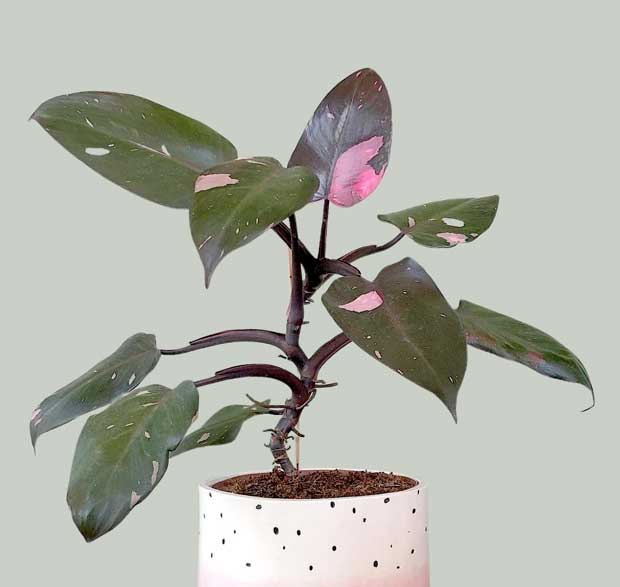 Philodendron Pink Princess (Putri Merah Jambu) (courtesy Instagram @urbanjungling)