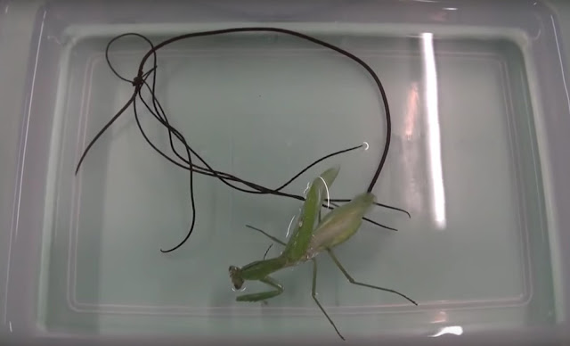 CREEPY: Parasite Worms Emerged From Zombie Mantis