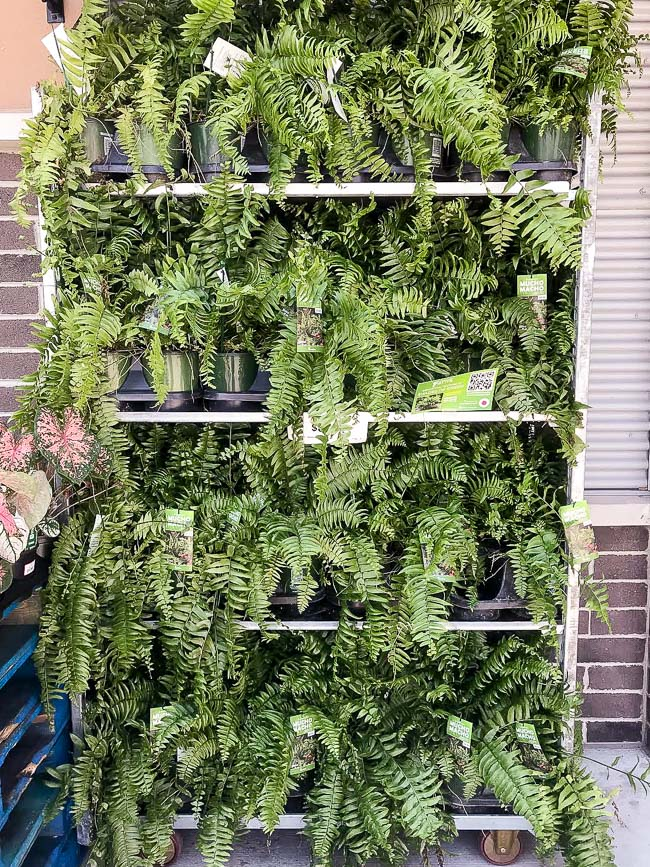 Ferns from Walmart