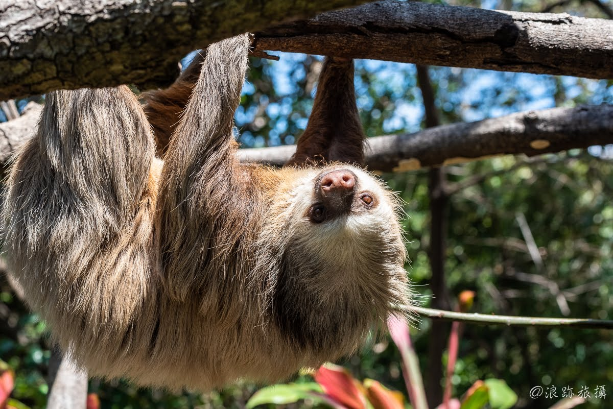 哥斯大黎加 Herpetological Refuge Costa Rica 樹懶 Sloth