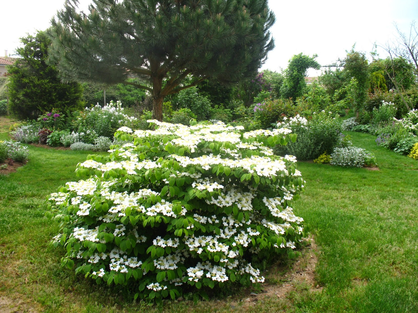 roses du jardin ch neland viburnum plicatum shasta. Black Bedroom Furniture Sets. Home Design Ideas