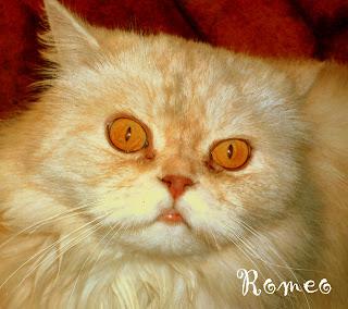 gatto rosso arancione sguardo