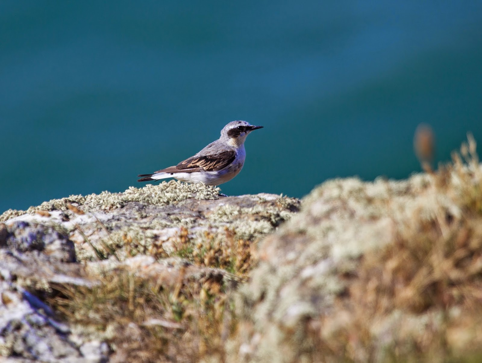 Northern Wheatear  - Skomer - Simon Colenutt