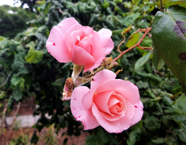 Two pink climbing rose flowers, hybrid tea shaped flowers