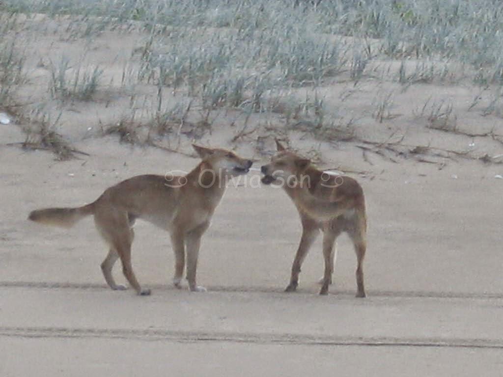 Dingo, Fraser Island, Queensland, Australie