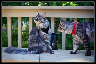 Shiva and Stalone, our 7 months old maine coons