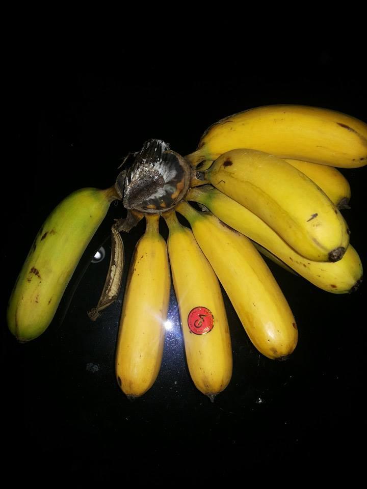Kalori Pisang Ambon : kalori, pisang, ambon, Pisang, Barangan, Kuning, Budidaya