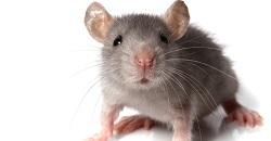 fareler nerede yaşar
