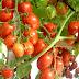 Mengenal Jenis Tomat Berdasarkan Karakter Tanamannya