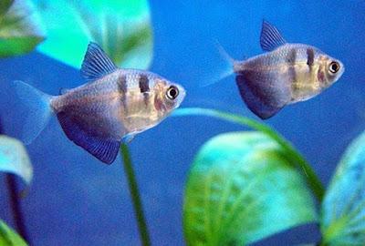 Gambar Ikan Black Tetra