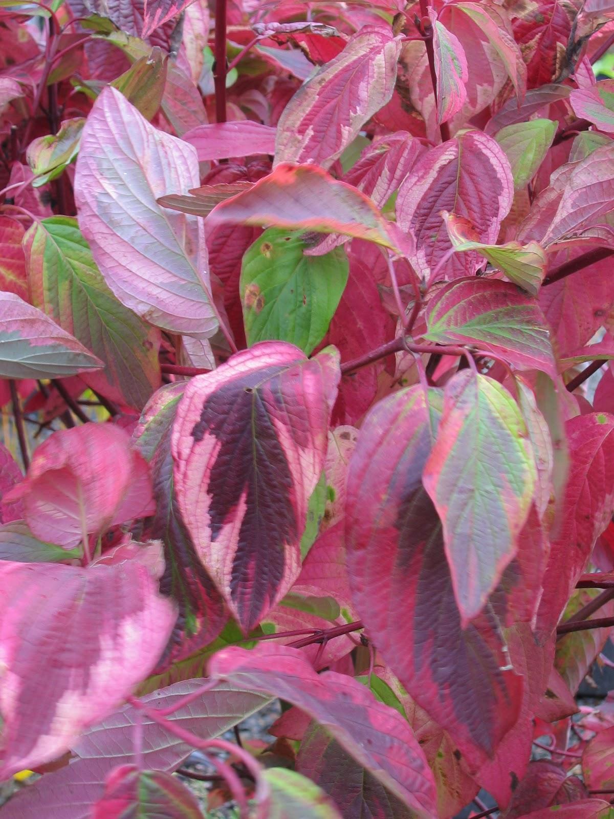 Cornus Stolonifera Kelsae Gold Home Garden Pinterest Induced Info