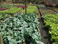Menyusuri Sudut kota Dan Menelisik Sayuran Organik Dikota Malang, Beginilah keadaannya
