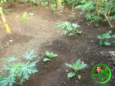 Menanam terung bulat Gelatik di pekarangan belakang rumah.
