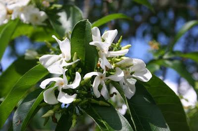 flores de Tabernamontana catharinensis