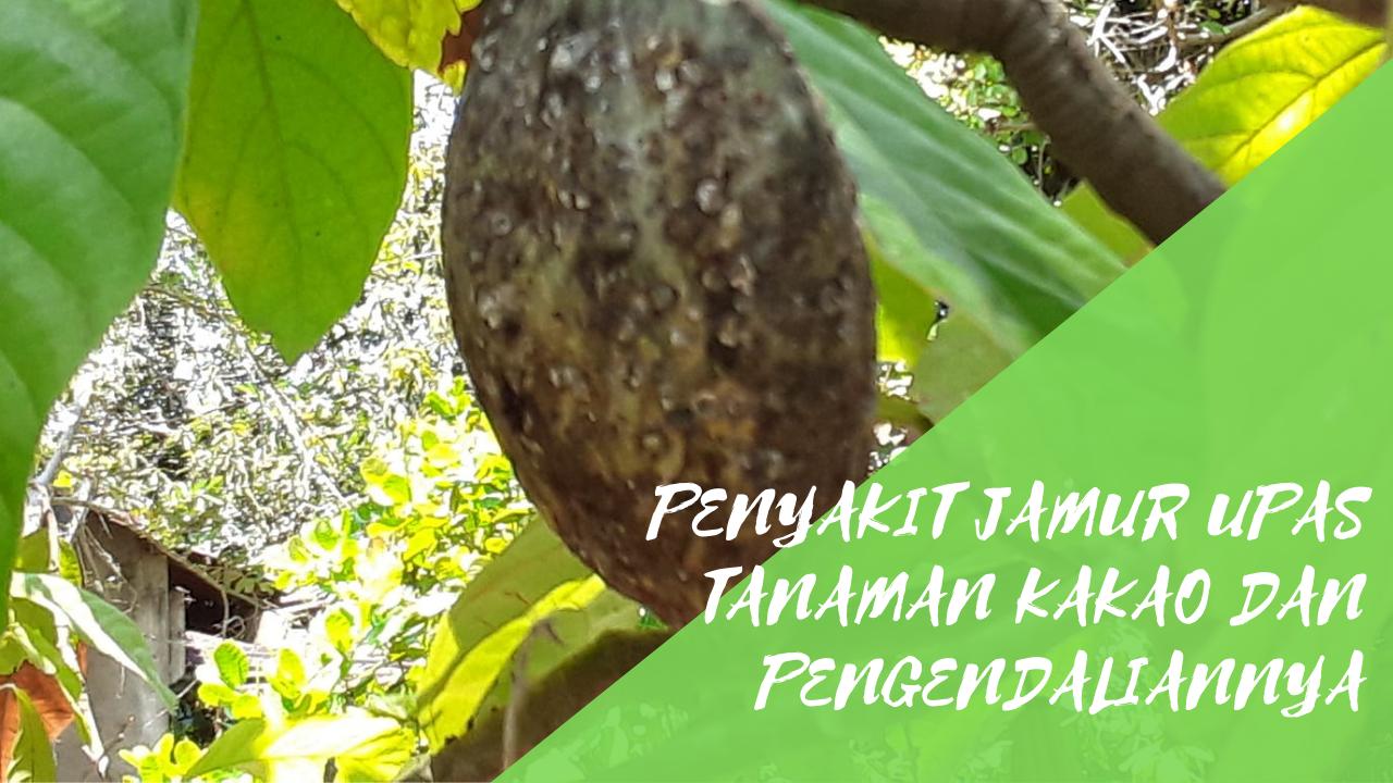 Penyakit Jamur Upas Tanaman Kakao dan Pengendaliannya