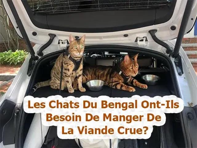 chat du bengal