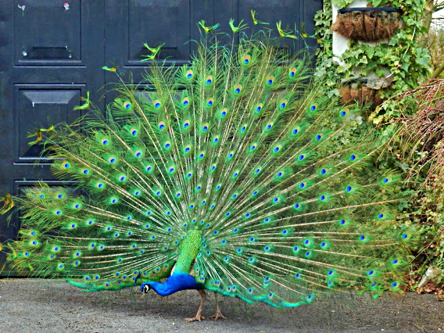 Peacock in full colour