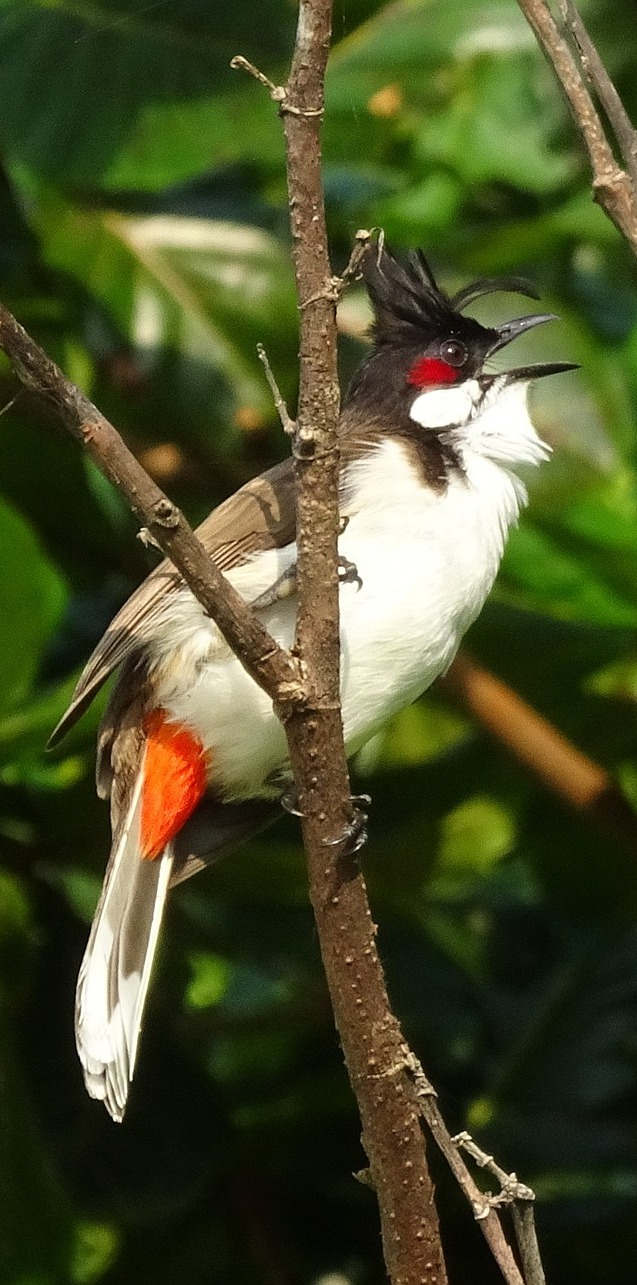 A red-whiskered bulbul .