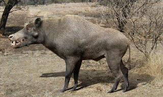 Jabalíes prehistóricos gigantes - Daeodon shoshonensis