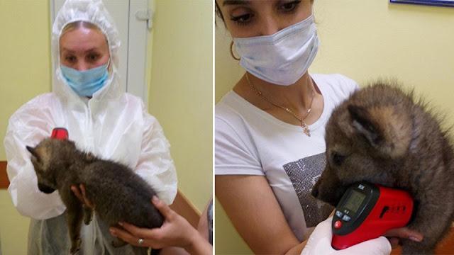 На Урале поместили на карантин по коронавирусу собаку