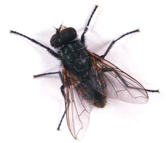 C mo puede una mosca caminar por el techo universo animal - Moscas pequenas en el techo ...