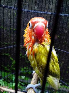 Burung Lovebird - Penjinakan Burung Lovebird yang Cukup Mudah dan Relatif Cepat