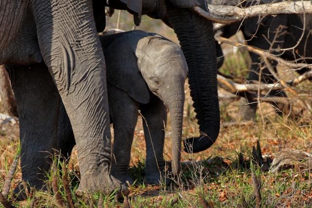 Big 5: Elefante