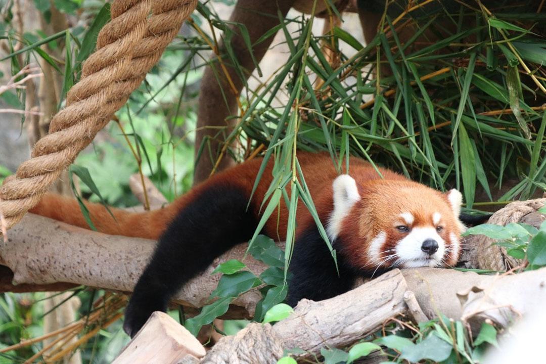 Red Panda at Macao Giant Panda Pavilion