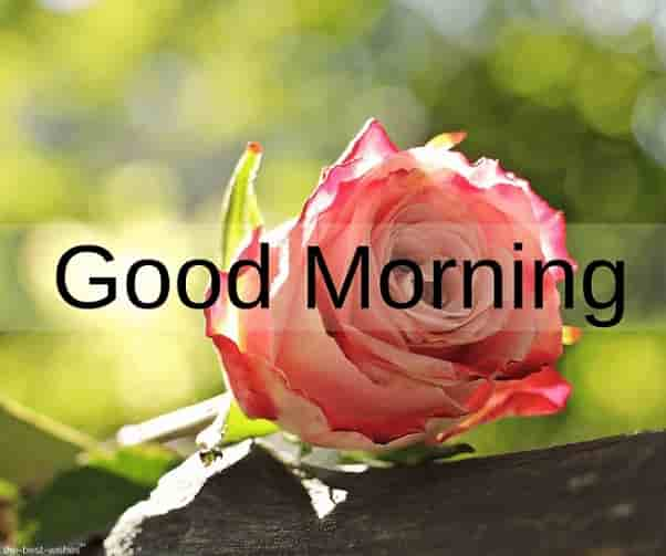 morning pink rose image