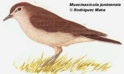 Dormilona puneña, Muscisaxicola juninensis