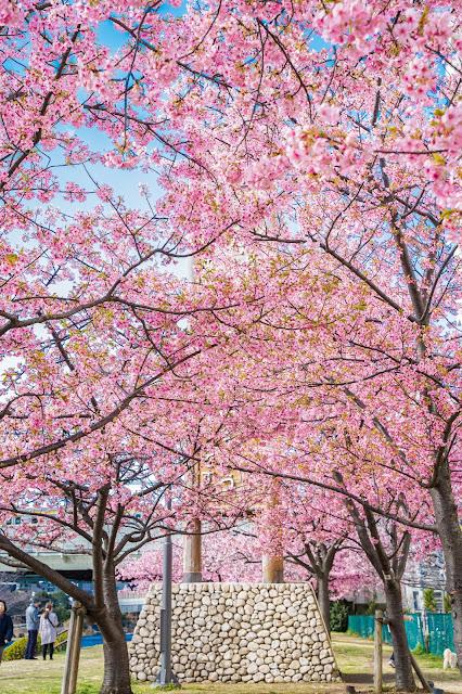 中川,桜,河津桜