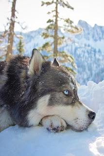 Husky Dog Mobile HD Wallpaper