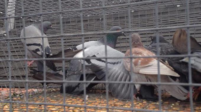 Remoção de Pombos com gaiolas