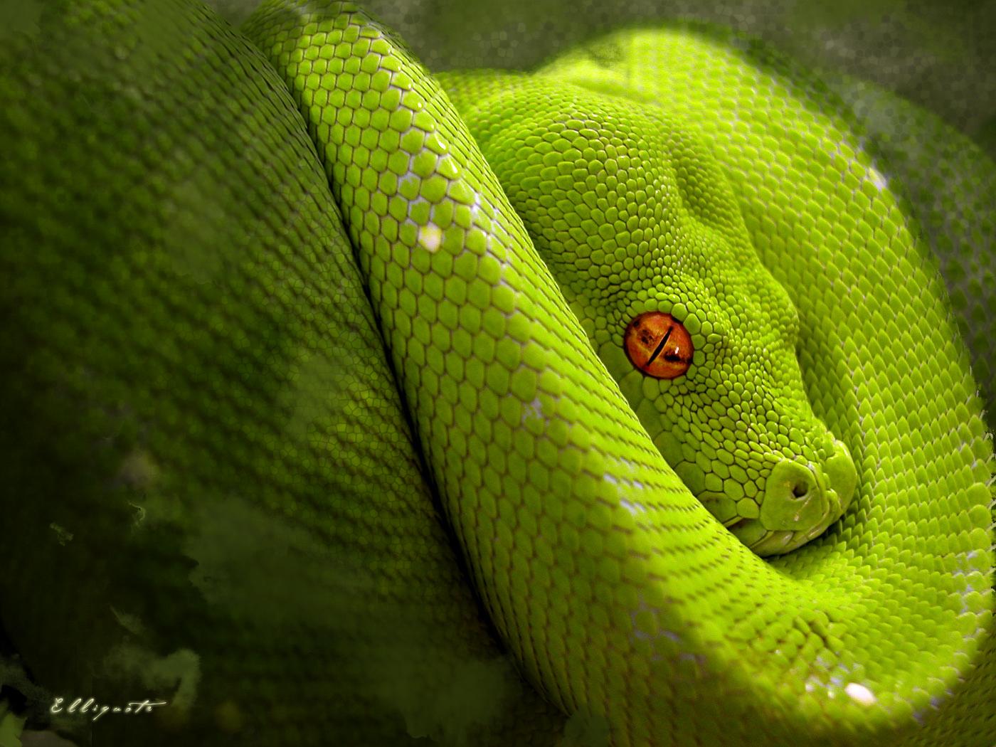 King Snake Hd Pictures Fantastic Snake Wallpaper: HD Wallpaper: Snake Hd Wallpapers