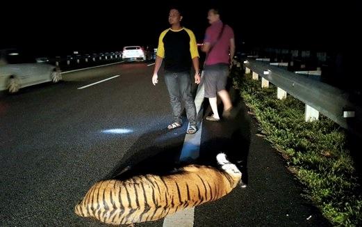 Harimau yang dilanggar di LPT2 bukan terlepas dari zoo