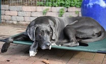 الكلب الدانماركي الضخم