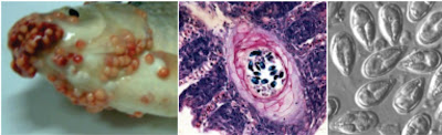 Penyakit Protozoa Pada Ikan : Myxosporidiasis (Penyakit Gembil)