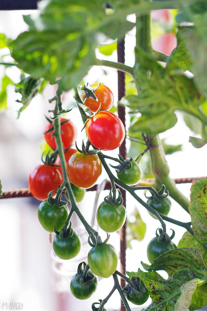odla odling balkongodling på balkong balkongen i hink kruka tomat tomater blomma blomning