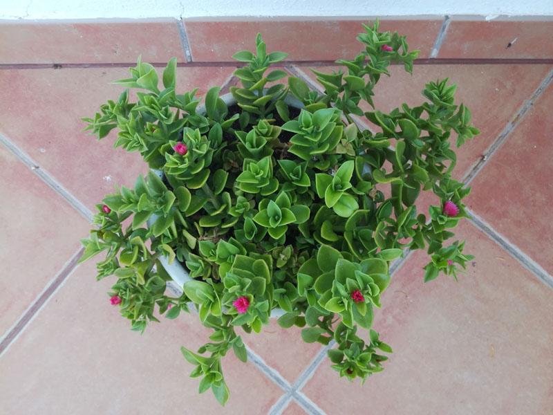 Aptenia cordifolia in vaso