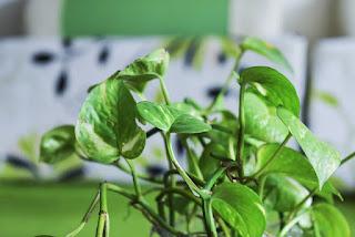 manfaat daun sirih hijau dan merah