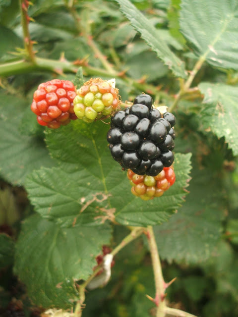 autumn blackberries on the allotment plot