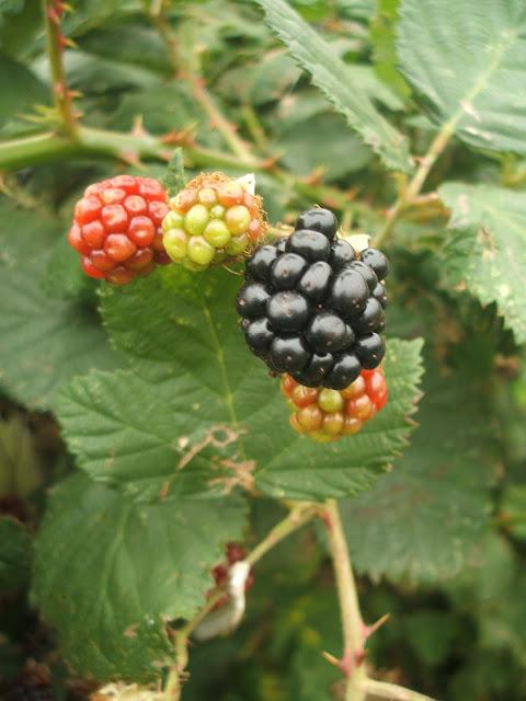 autumn blackberries on the allotment plot