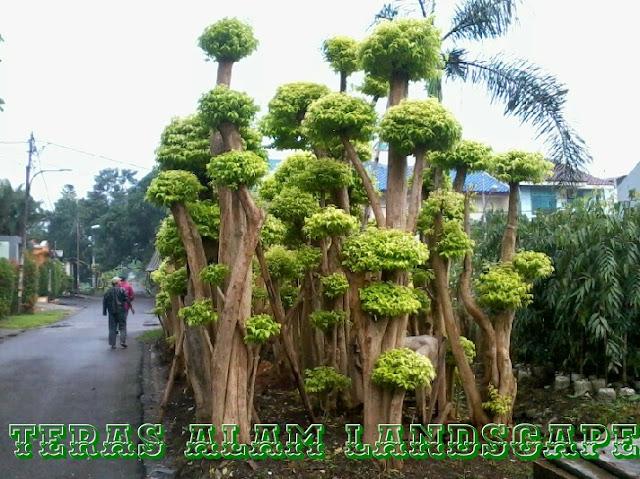 Jual pohon bonsai anting puteri