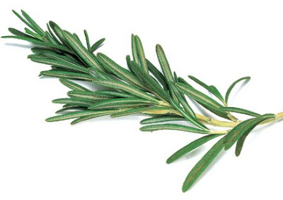 Healing property of rosemary encourages not only the needle-like leaves but also the flower and stem.
