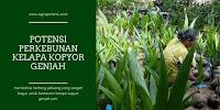 Potensi Perkebunan Kelapa Kopyor Genjah Yang Menggiurkan
