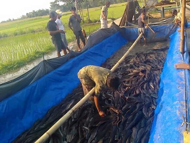 Cara budidaya Ikan Lele di Terpal