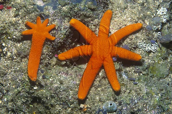 Regeneration asexual reproduction video starfish